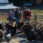 The first ever TURKEY TRAFFIC JAM. Very seldom is there a problem with traffic jams on Salt Spring Island, but at Apple Festival 2009, the beautiful free range heritage turkeys of Mike Lane at Ruckle Farm, decide they wanted to be in the middle of the road. So traffic stopped. Gradually they got moved off the road, and once again traffic could flow. Photo by Derek Lundy
